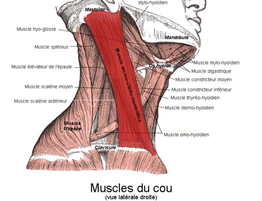 Que Muscle Un Rameur