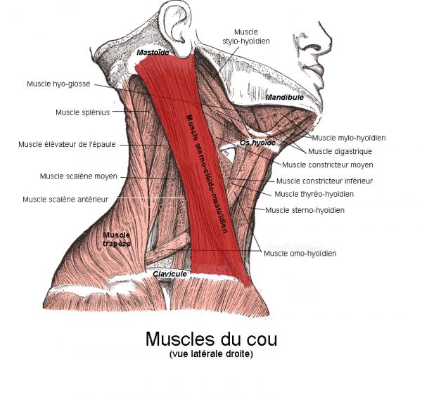 Rameur Muscle Quoi